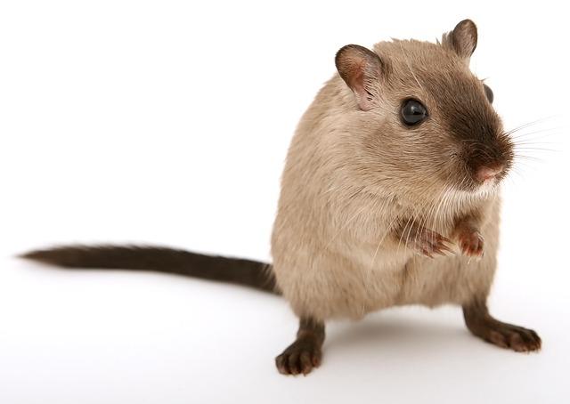 hnědá myška