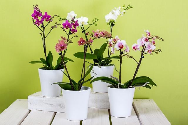 orchideje phalaenopsis