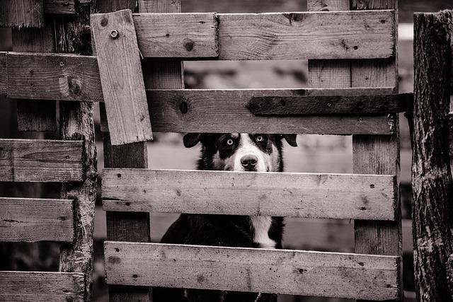 Starý dřevěný plot, za kterým sedí pes